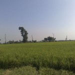Daska_Shamsa_Green_Field